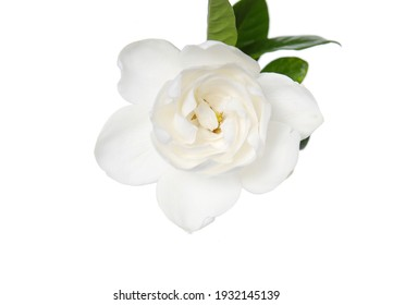 Blooming gardenia jasmine flower with leaves on white background