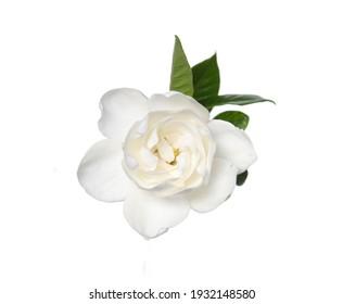 Blooming gardenia ,jasmine flower with leaves closeup