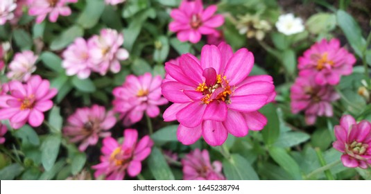 Pink Zinnia Blooming in The Garden,Zinnia flower,closeup of pink Zinnia flower in full bloom. - Shutterstock ID 1645238794
