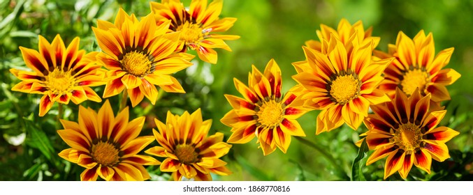 blooming  gazania flowers or african daisy in a garden on green background