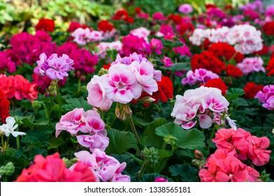 blooming geranium varios colors