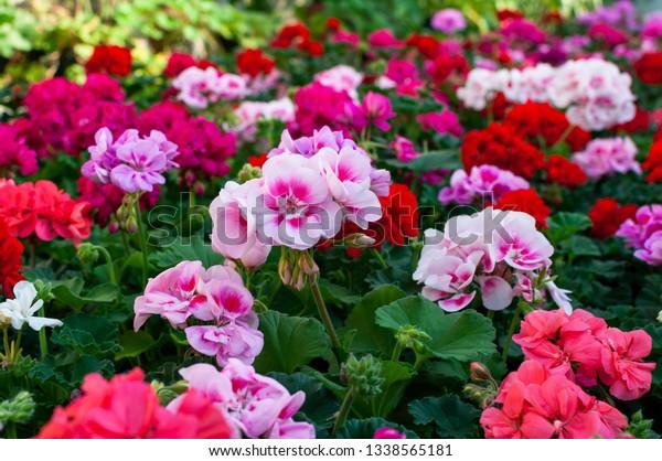 couleurs des variantes de géranium en fleurs