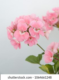 Blooming geranium zonal with gentle, pale pink flowers
