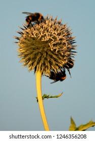 Blooming Glandular globe-thistle plant, knows also as Great globe-thistle or Pale globe-thistle - Echinops sphaerocephalus - with feeding Bumblebees in spring season in a botanical garden