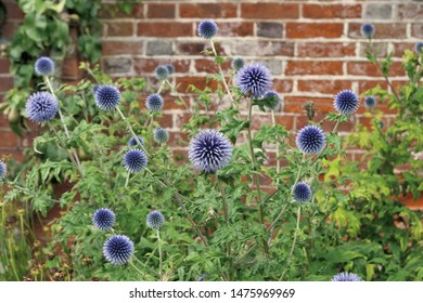 Blooming globe thistle (echinops) against an old brick wall, shallow depth of field.