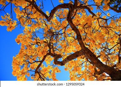 Blooming Golden Trumpet Tree (in Portuguese: Ipe Amarelo; scientific name: Tabebuia chrysotricha or Handroantus chrysotrichus). This flower is the iconic national flower of Brazil.