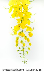 Blooming Golder shower flower on white isolate background, Nature yellow flower