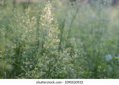 blooming grass in summer meadow macro selective focus