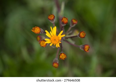 Blooming groundsel
