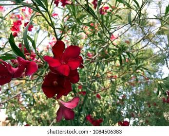 Blooming Hardy Red Oleander flower cluster