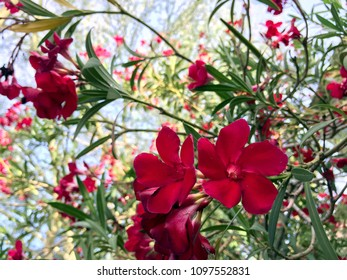 Blooming Hardy Red Oleander flower cluster in early Spring morning