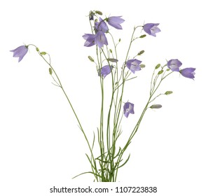 Blooming harebells, Campanula rotundifolia isolated on white background