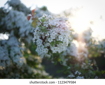 Blooming Hawthorn in The Netherlands