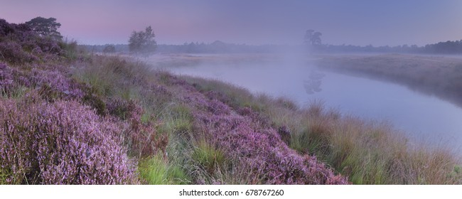 Blooming heather along a lake in The Netherlands on a foggy morning at dawn.