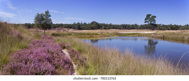 Blooming heather along a lake in The Netherlands on a sunny day in summer.