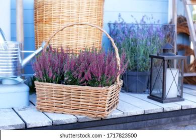 Blooming heather Calluna vulgaris in pot, flowershop. Heather vulgaris bloom of pink flowers in basket on veranda. Decorative garden flowering plant. Heather Violet calluna decorating garden. lavender