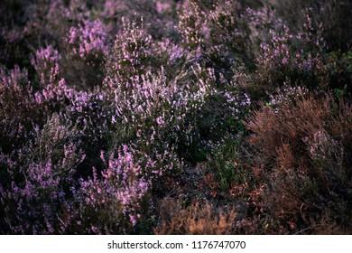 Blooming heather in field.