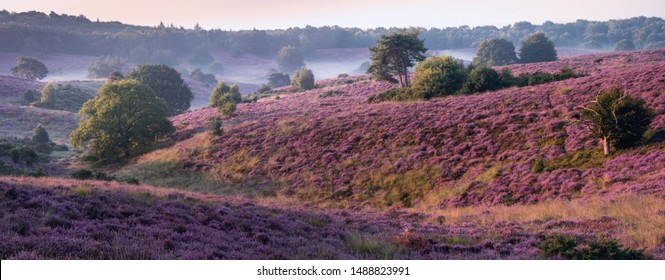 Blooming Heather field in the Netherlands national park Veluwezoom, purple hills of the Posbank, blooming flower fields in August