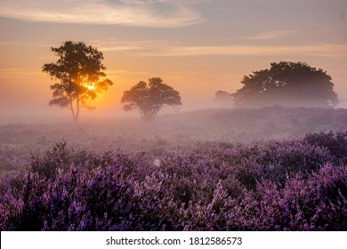 Blooming Heather fields, purple pink heather in bloom, blooming heater on the Veluwe Zuiderheide park , Netherlands. Holland