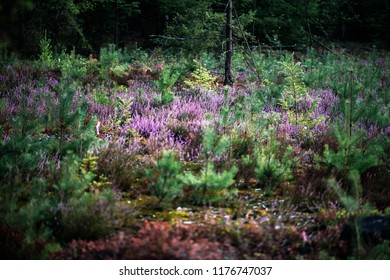Blooming heather in forest with young fir trees.