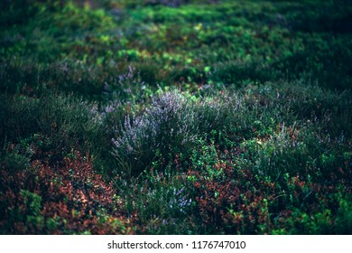 Blooming heather in moorland.