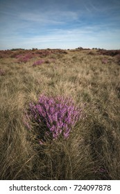 Blooming heather in moorland with blue cloudy sky.