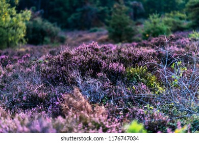 Blooming heather in moorland with pine trees.