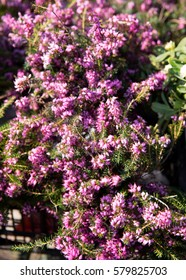 Blooming Heather on the market of Belgrade. Serbia