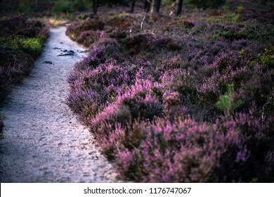 Blooming heather with sandpath in moorland.