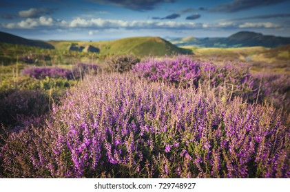 Blooming Heather at Scenic Moorland