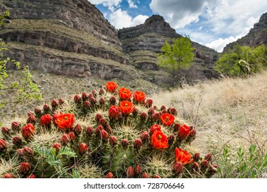 Blooming Hedgehog Cactus at Oliver Lee Memorial State Park, New Mexico, USA