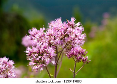 Blooming herb in mountains