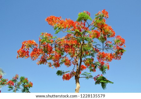Blooming Hibiscus Tree Blue Sky Background Stock Photo Edit Now