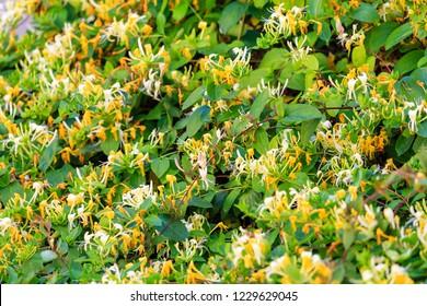 Blooming honeysuckle Bush near the house. White yellow Lonicera japonica Caprifolium perfoliate honeysuckle flowers. Golden-and-silver honeysuckle or Japanese honeysuckle groundcover