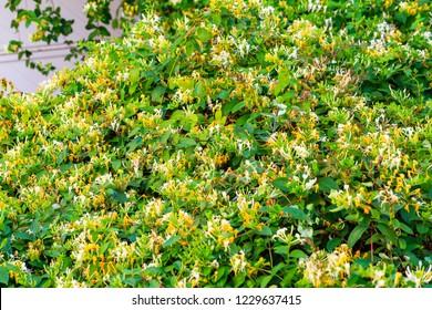 Blooming honeysuckle Bush near the house. White yellow Lonicera japonica ( Caprifolium perfoliate ) honeysuckle flowers. Golden-and-silver or Japanese honeysuckle groundcover