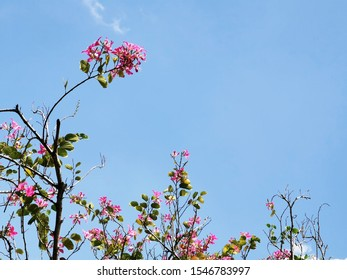 Blooming Hong Kong Orchid flowers with butterfly or heart shaped leafs the symbol of wisdom and lucky in studying on bright blue sky background