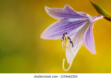Blooming Hosta Flower. Hosta is a genus of plants commonly known as hostas, plantain lilies, the Japanese name giboshi.