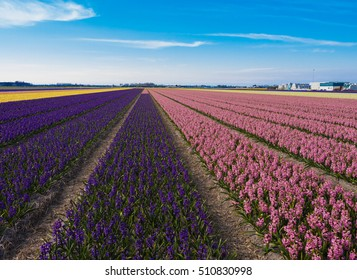 Blooming hyacinth field in Netherlands., Pink, blue and yellow flowers.