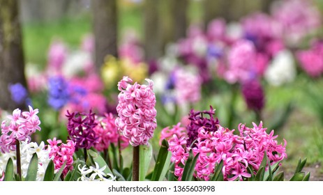 blooming hyacinth flowers in the park in gdynia