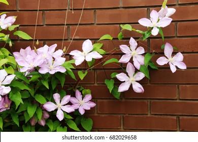 Blooming hybrid cultivar Jackman's clematis (Clematis x jackmanii) in the summer garden
