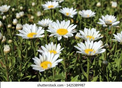 Blooming hybrid cultivar Shasta daisy (Leucanthemum x superbum 'Snowcap') in the summer garden
