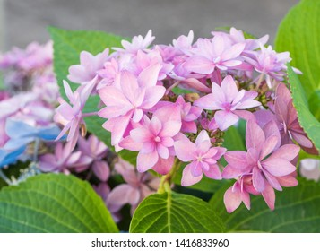 Blooming Hydrangea paniculata or Panicled hydrangea. Pink flowers with green leaves.