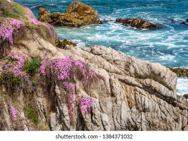 Blooming ice plants cling to the side of the rocky cliff, giving a vibrant pink color, in Pacific Grove, along the Monterey Bay of central California.
