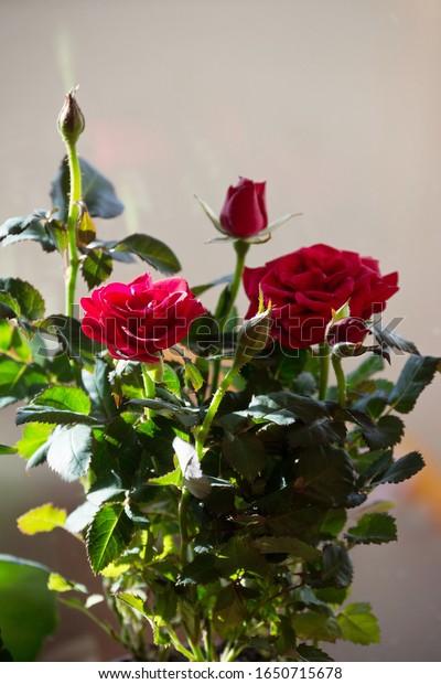 blooming-indoor-flower-red-dutch-600w-16