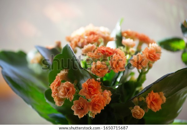 blooming-indoor-flowers-orange-kalanchoe
