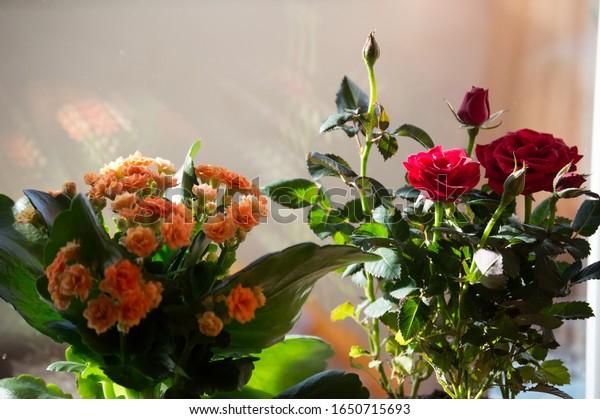 blooming-indoor-flowers-orange-kalanchoe