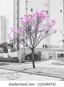Blooming ipe tree on the middle of two streets on a urban scenery. Selective color, black and white with pink colored flowers.
