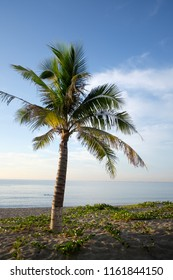 Blooming Ipomoea pes-caprae flowers and coconut tree on beach