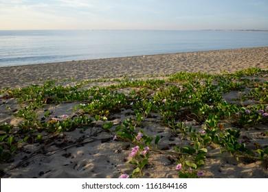 Blooming Ipomoea pes-caprae flowers on beach