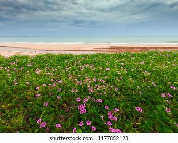 Blooming Ipomoea pes-caprae flowers on beach and sky, fisheye shot